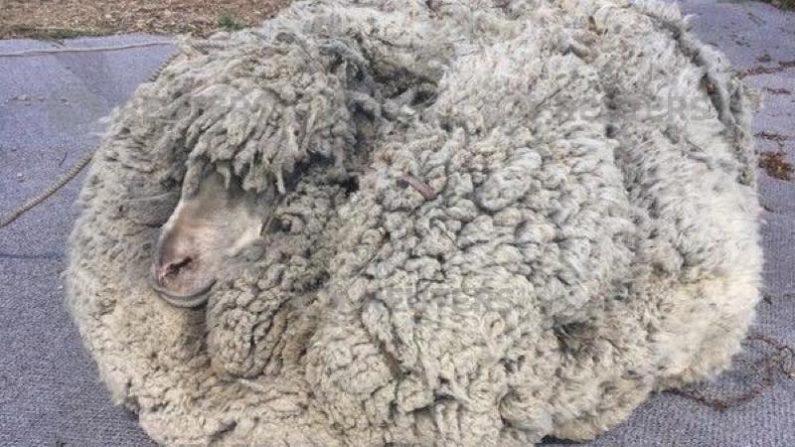 数年ぶりに毛刈りの羊、30キロ身軽に オーストラリア