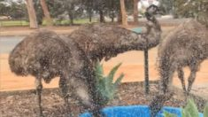 オーストラリアで干ばつ続く 都市部にエミューの集団が出現