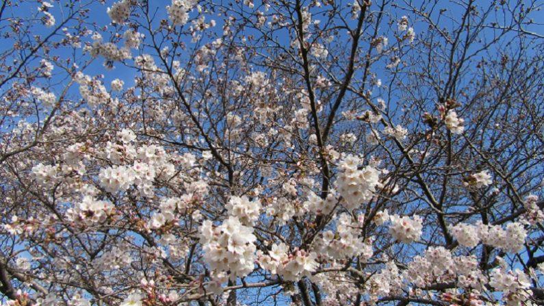 【散歩道で見た花や風景】サクラサク