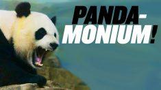 パンダが中国に帰る?中国の重大なニュースを集めました【チャイナ・アンセンサード】PANDA-monium at Chinese Zoo