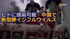 ヒトに感染可能 中国で新型豚インフルウイルス発見
